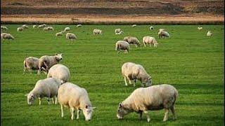 sheep farming pakistan goat farm pakistan