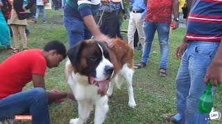 SAINT BERNARD KING OF THE DOG   SAINT BERNARD DOG