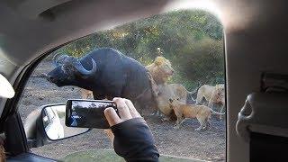 Bầy sư tử đói ăn tấn công săn mồi bầy trâu rừng .Thế giới động vật hoang dã