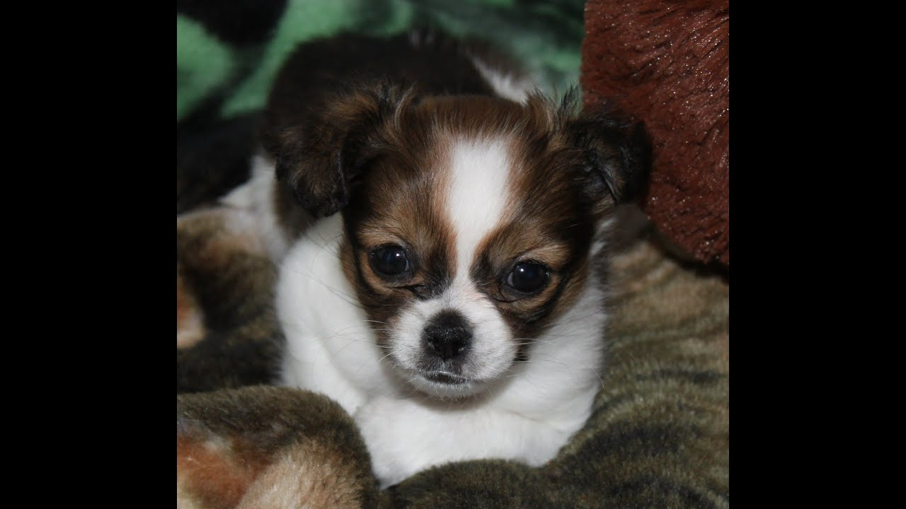 ShiChi~Chihuahua/Shih Tzu mix breed~Cutest puppy ever ! - YouTube