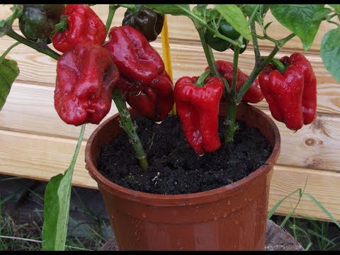 Выращивание овощей в мешках, ведрах, бочках, кадках – советы, уход, подкормки