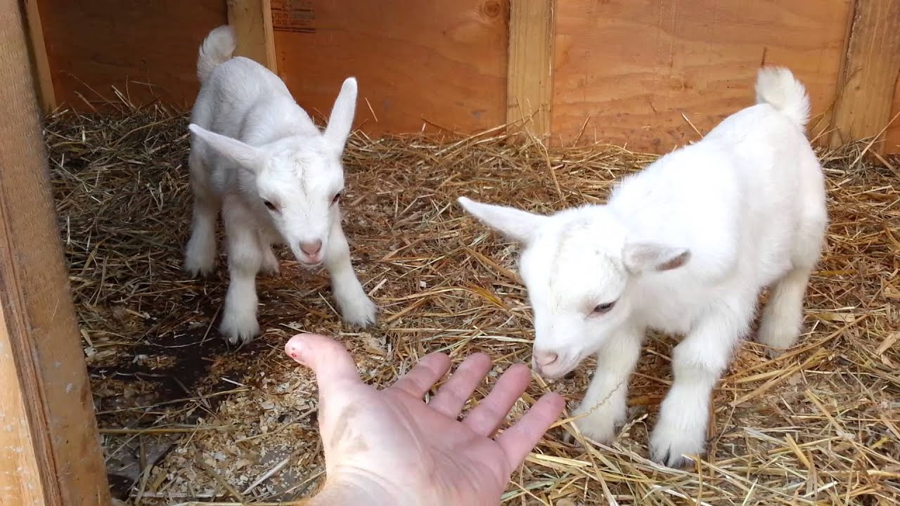 Baby goats playing - YouTube