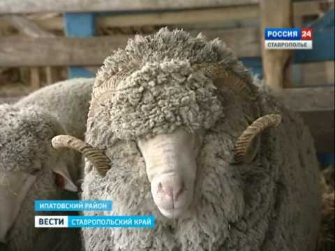 Ставропольские животноводы удивили всю страну