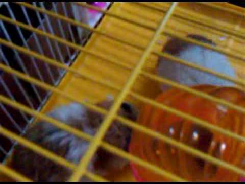 Hamster Mating.3gp video