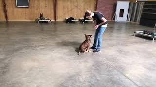 """Super Cute Trick Puppy 11 Wk """"Vision"""" von Prufenpuden German Shepherd Dog For Sale"""
