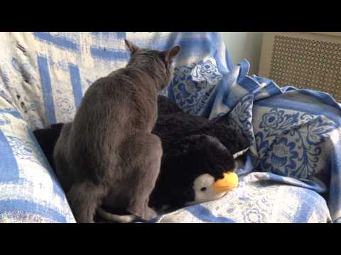 Russian Blue Male Cat Mating Fucking and having sex with a Penguin Pillow