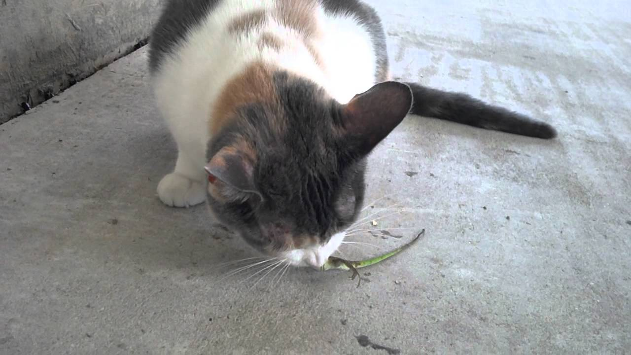 Lizards Eating Cats my Cat Killing And Eating a