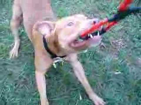Red Nose Pitbull warmp-up tugging Video