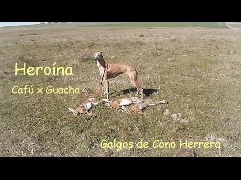 Galgos de Cono Herrera