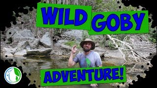 WILD GOBY FISH ADVENTURE! FISH COLLECTING ADVENTURES!