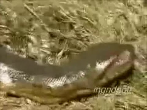 anaconda woman
