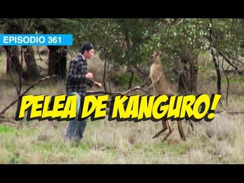 Pelea con un Kanguro!! #mox #whatdafaqshow
