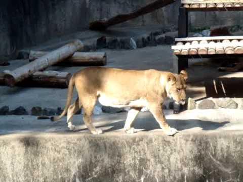 動植物園のライオン
