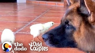 Watch These German Shepherds Raise Baby Chickens | The Dodo Odd Couples