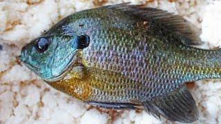 Catching catfish bait with mashed potatoes - Bluegill fishing with bobbers