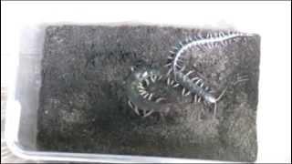 GFC 아프리카TV 곤충대전 BJ 영강 왕지네따윈 크기로 압살해버리는 마이차우 ㄷㄷㄷcentiped