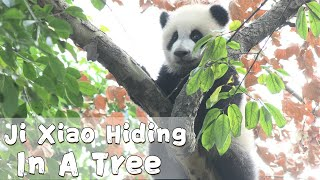 Ji Xiao Acting Cut On A Tree | iPanda