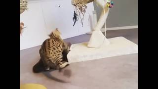 Otter and cat playing together