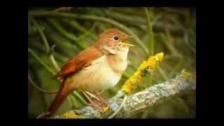Chant du rossignol pour apprendre aux jeunes chardonnerets,canaris,tarins ......
