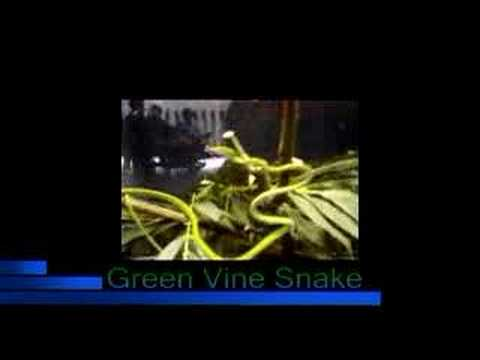 Green Vine Snake from Singapore Zoo! Video