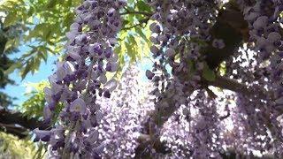 伊達政宗公から400年受け継がれる藤の花