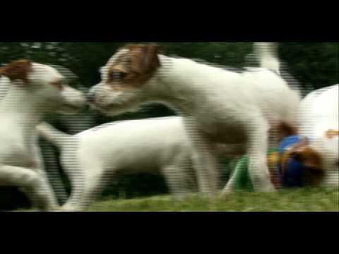 Τζακ Ράσελ Τεριέ - Jack Russell Terrier