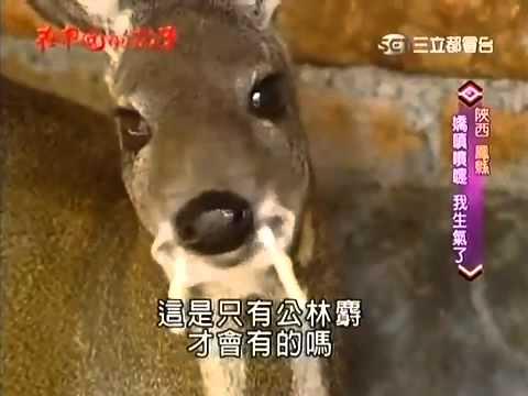Musk Deer Musk Gland Musk Deer 麝香鹿