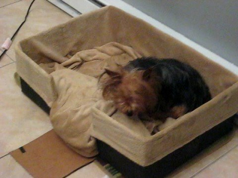 Pregnant Yorkie in her Whelping Box. Pregnant Yorkie in her Whelping Box