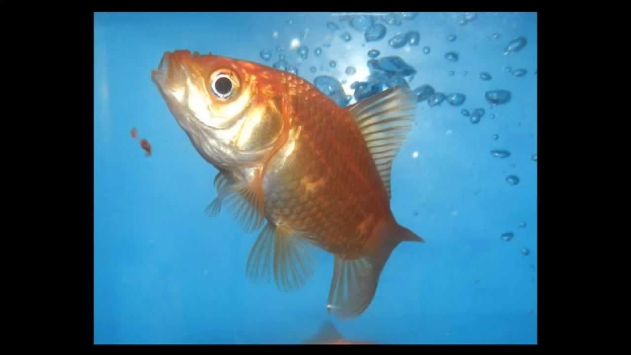 Scheda del carassius auratus pesce rosso youtube - Pagina di colorazione del pesce ...