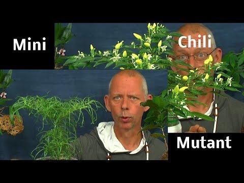 Mega Chili in der Anzucht Erklärungen zur Aussaat von Bäumen für draußen
