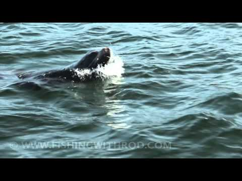 DSLR Video: California Sea Lion in Ucluelet BC