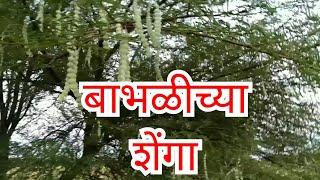 Kamshakti ,kamvasna ,कामउत्तेजना,कामशक्ती  बाभळ,बाभळीच्या शेंगा,Ayurvedic treatment,आयुर्वेदीक औषध