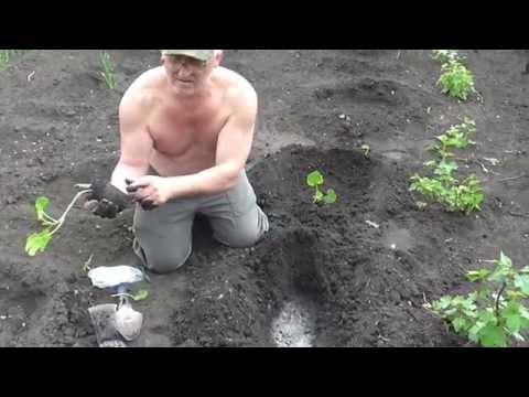 Кабачки высадка рассады в открытый грунт 47