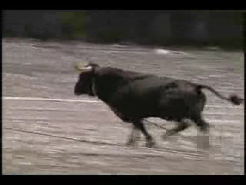See to Believe: Azores: Bull on a Rope