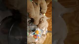 Puppies in the water bowl
