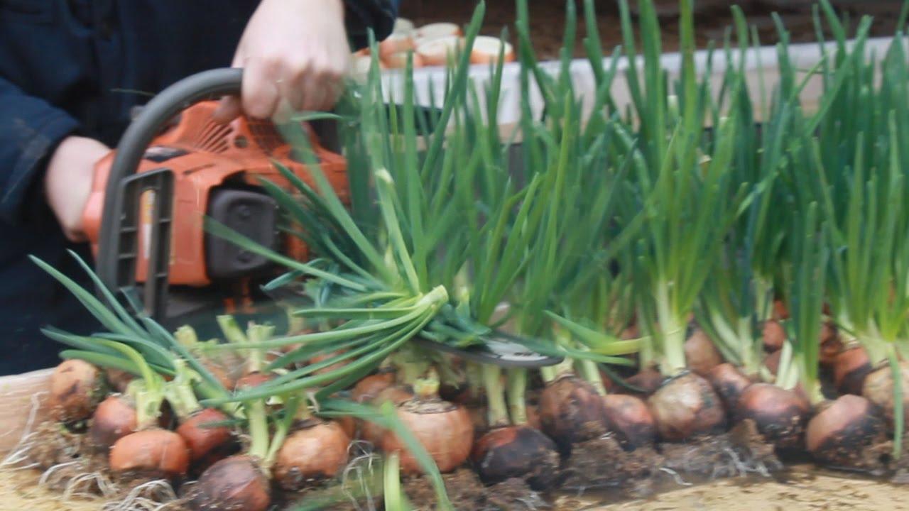 Выращивание лука на репку как бизнес 75