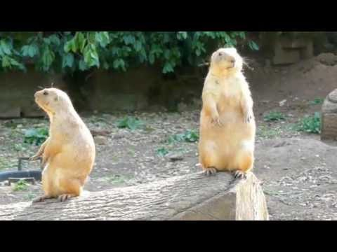 Prairie Dogs at Bristol Zoo
