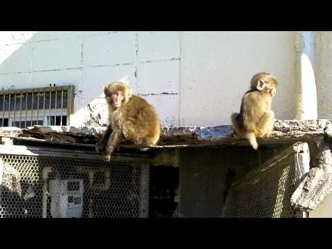 波勝崎苑の猿(子ザルの秘密基地)Japanese Macaque Monkeys