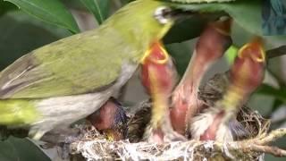 Mùa sinh sản của chim vành khuyên