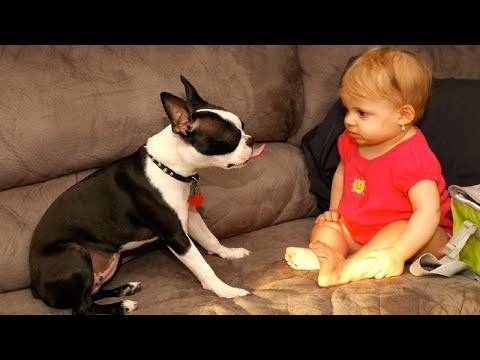 Lovely Baby & Boston Terrier having fun together | Dog loves Baby Compilation