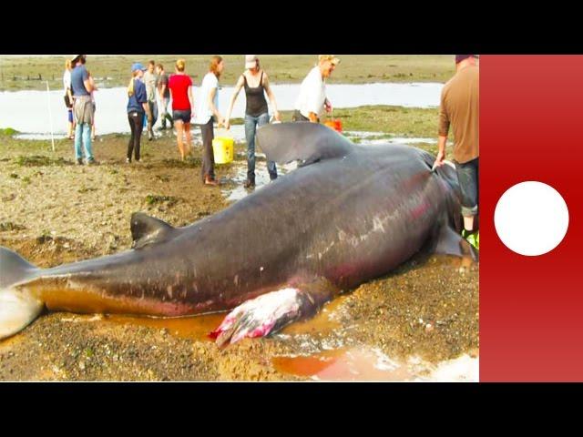 Un grand requin meurt échoué sur une plage dans le Maine