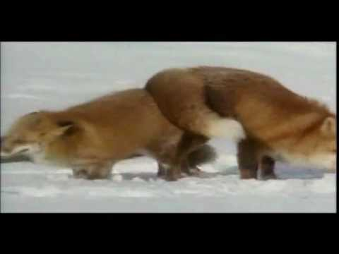 Foxes mating