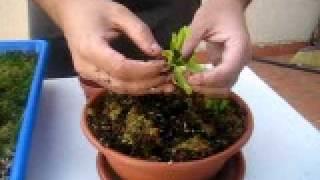 Tutorial trasplante Dionaea Muscipula