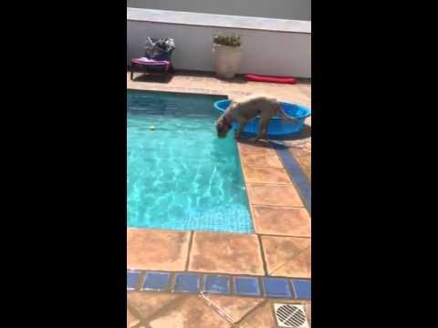 Super inteligente: perro agarró pelota de una pileta sin mojarse