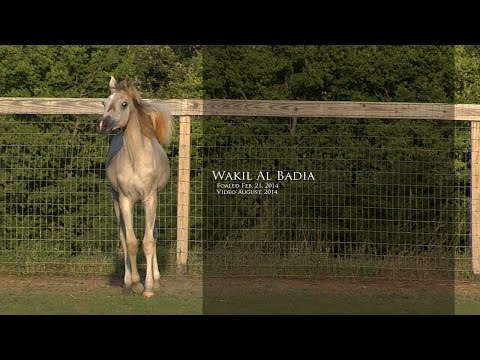 Wakil Al Badia ( DeSha Daheez x Safina Al Badia ) 2014 Grey Arabian Straight Egyptian Stallion