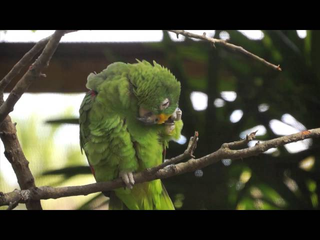 Panama Yellow Crowned Amazon