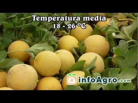 Cultivo del melón. 1ª parte