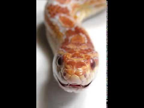 Snake Speaking Punjabi Funny Video.mp4 video