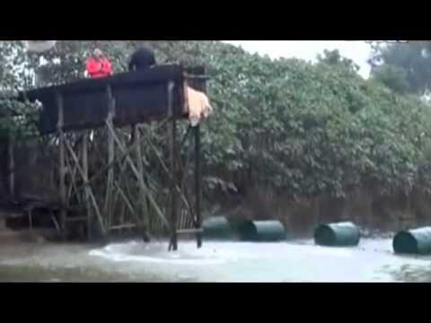 Pigs Diving / Свиньи прыгают с трамплина