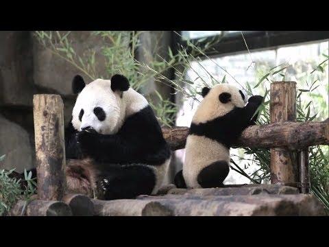 Весь Китай придумывает имена для маленьких панд